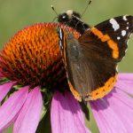Quanto ne sai dell'Echinacea Purpurea?